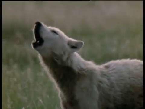 Wolf vs Buffalo