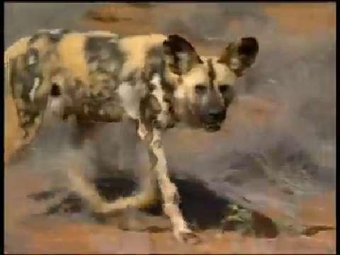African wild dogs' bite