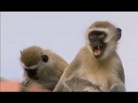 Monkey gangs face off