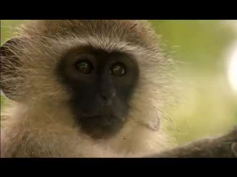 Curious Monkey Overdoses On Medicine