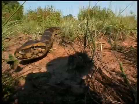 Africa's Largest Snake