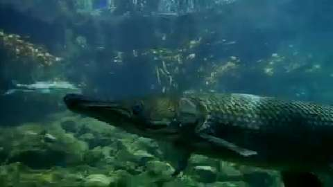 Meet The Ancient Alligator Gar Fish