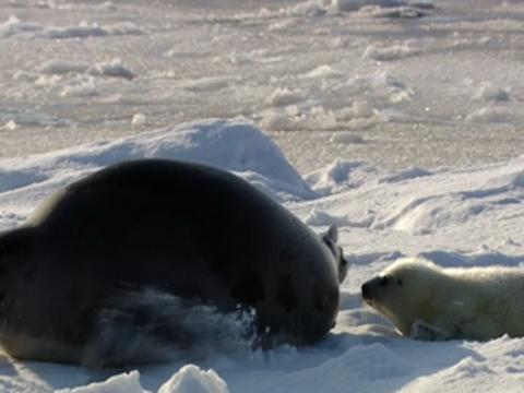 Baby Seals in the Arctic