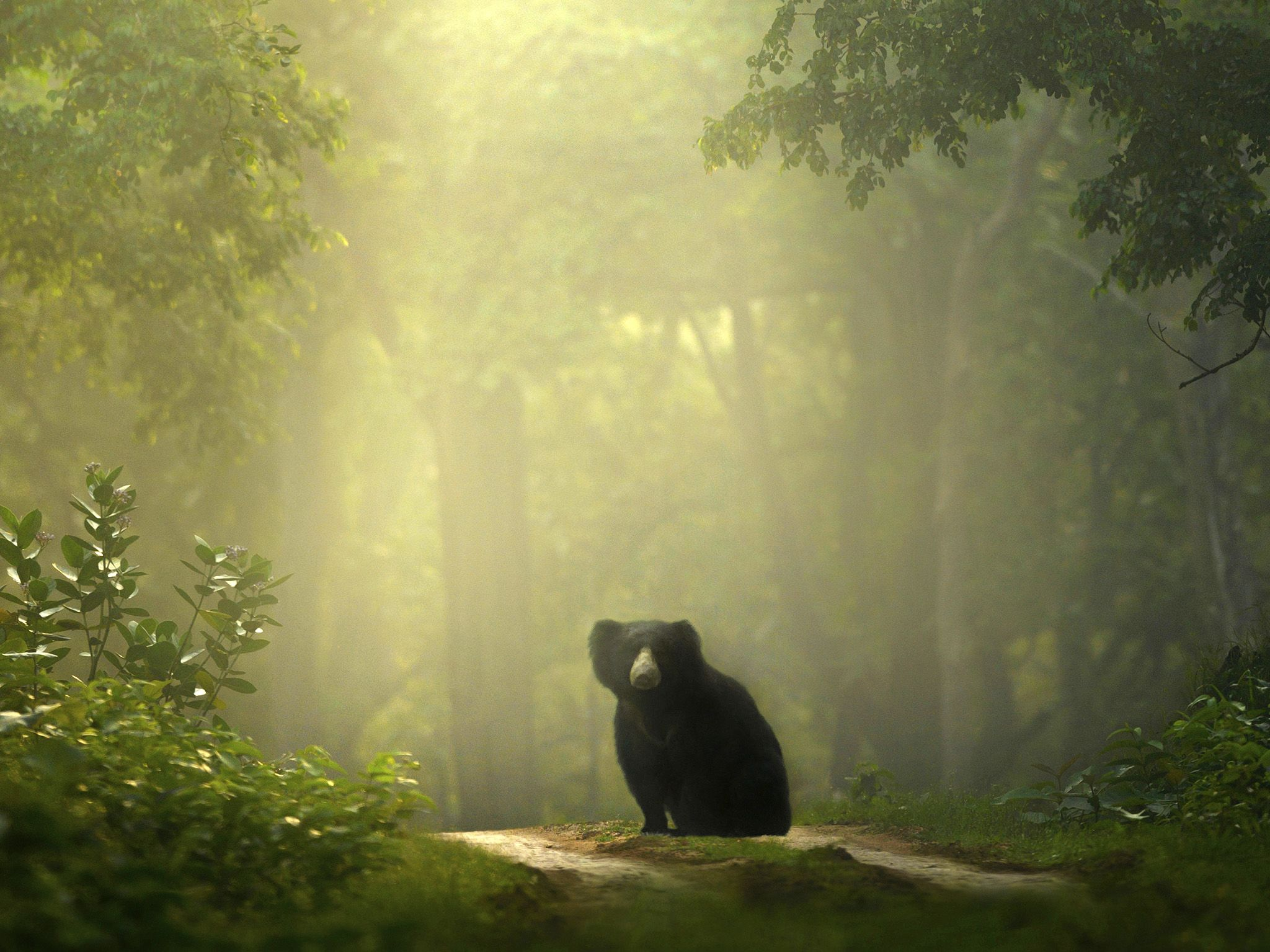 A lone sloth bear sits on a road in the middle of a green forest.  This image is from The Real... [Photo of the day - January 2020]