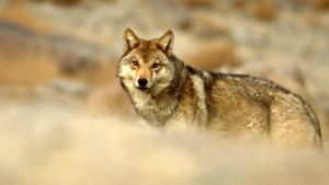 Grey wolves are canine counterparts... [Photo of the day - 30 JANUARY 2020]
