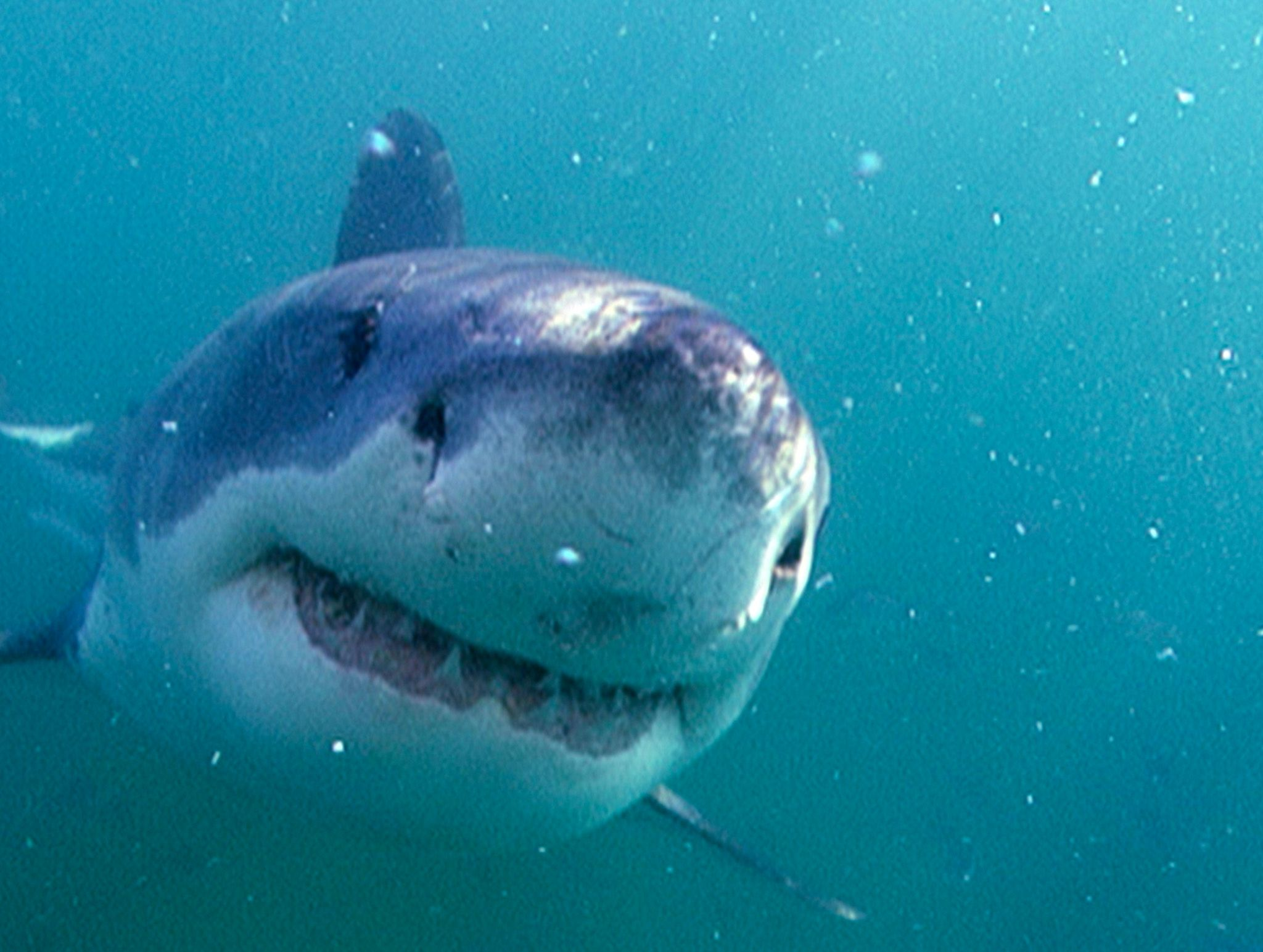 Great White Shark coming closer. This image is from Africa's Deadliest. [Photo of the day - February 2020]