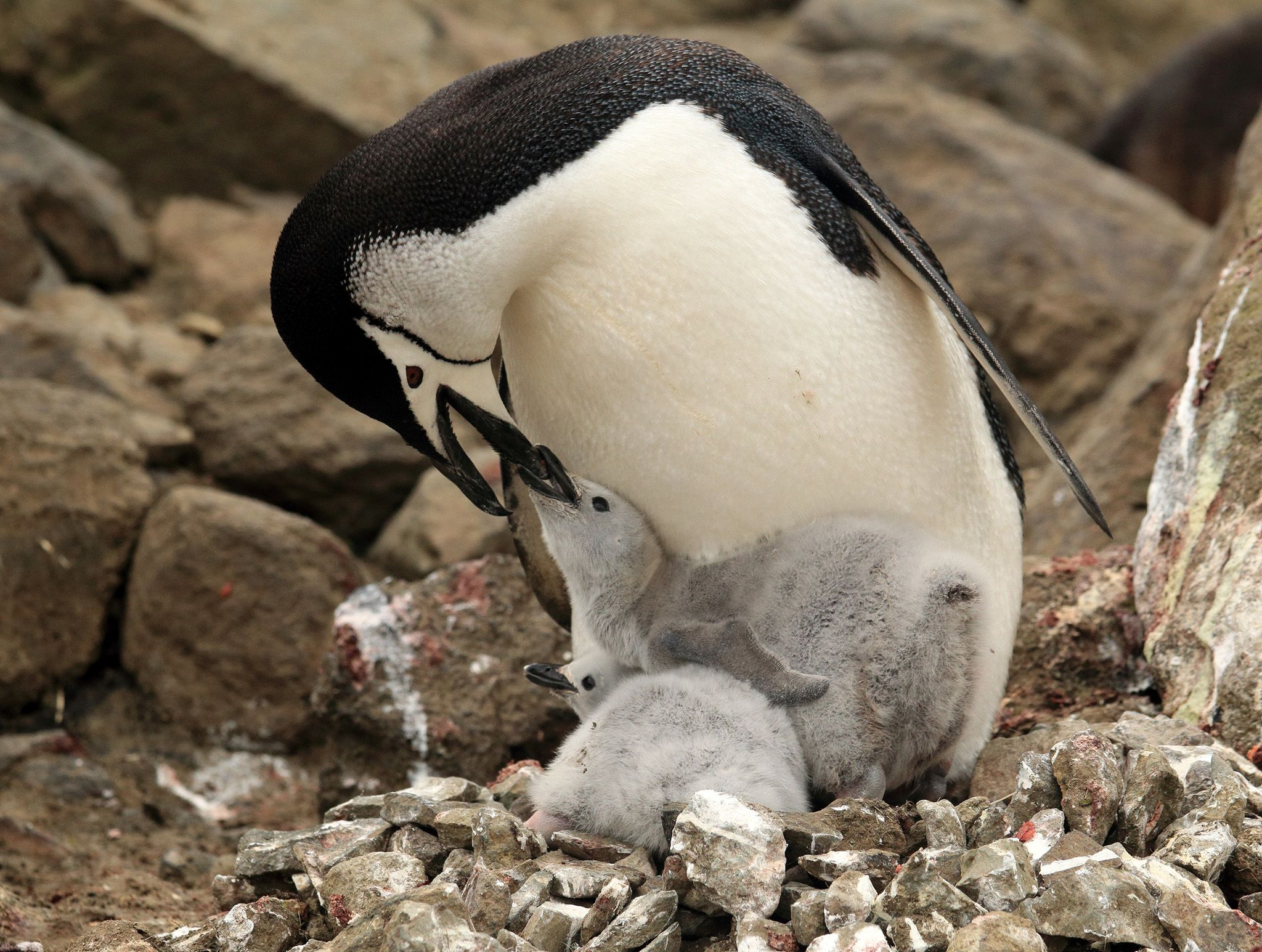Marion Island, Sub Antarctica:  Chinstrap penguin parent feeding two chicks.  This image is from... [Photo of the day - February 2020]