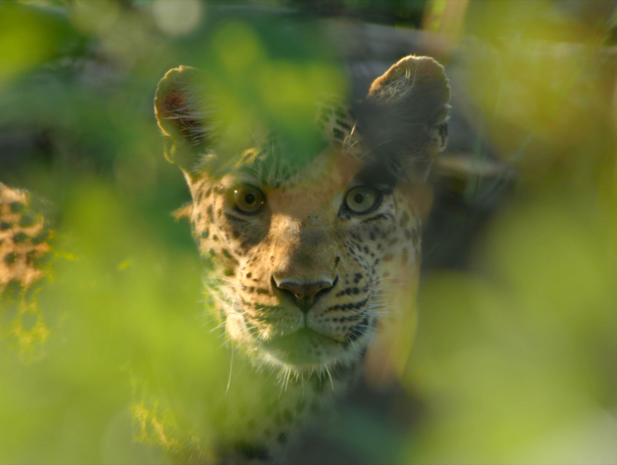 Botswana:  Leopard face behind leaves.  This image is from Africa's Deadliest. [Photo of the day - February 2020]