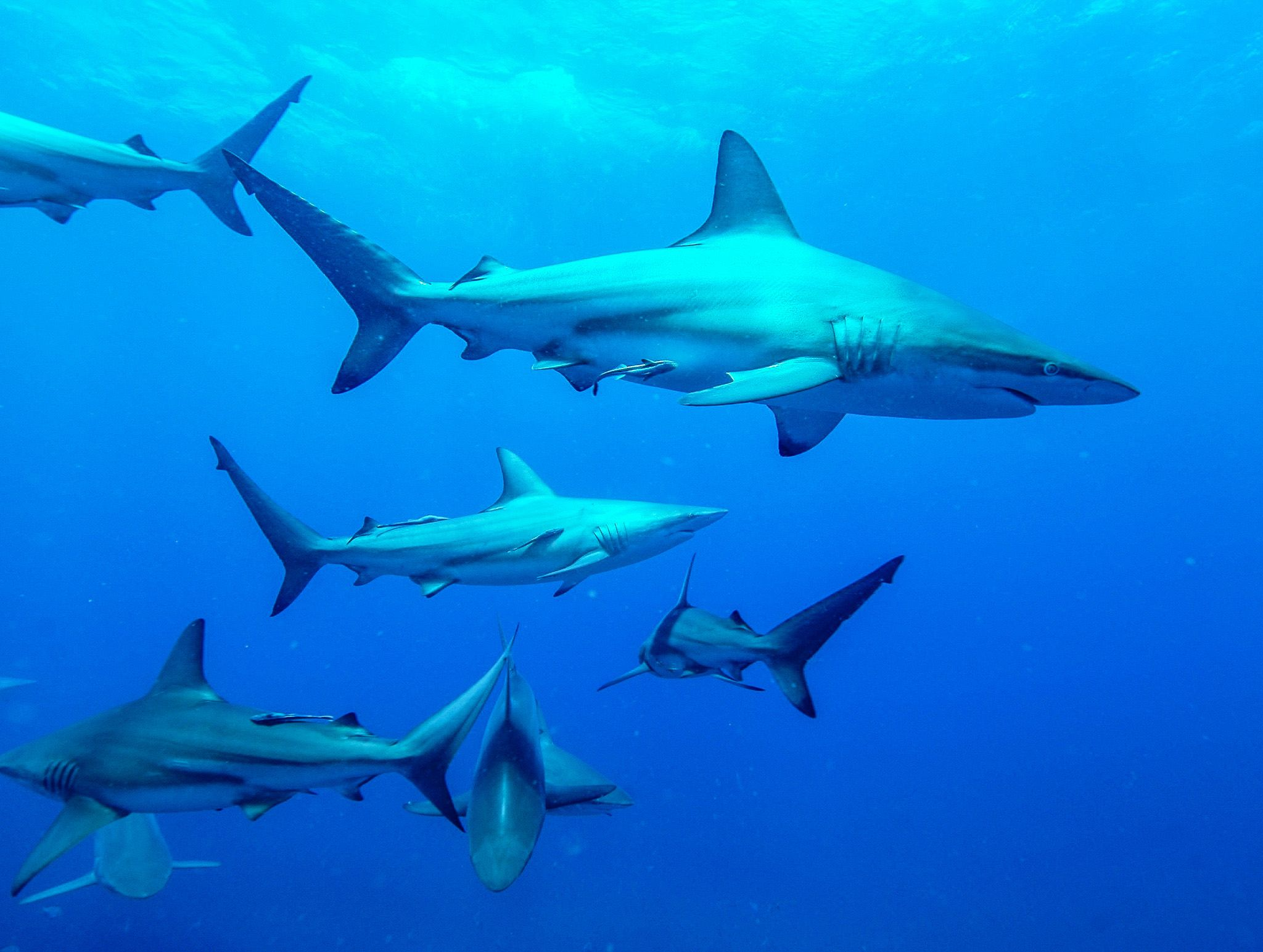 Blacktip Sharks hunting.  This image is from Africa's Deadliest. [Photo of the day - February 2020]