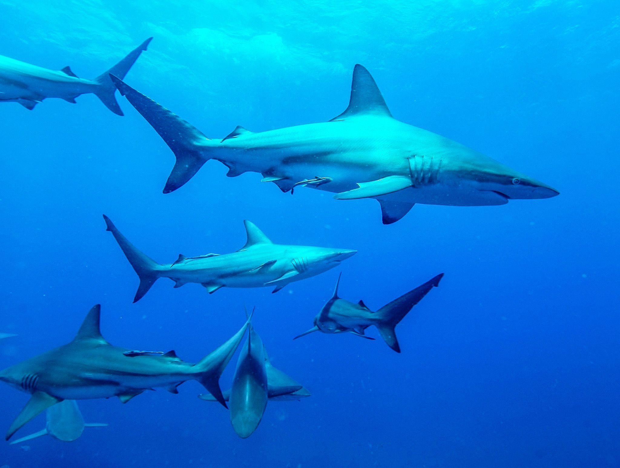 أسماك القرش ذات الزعانف السوداء أثناء اصطياد... [Photo of the day - فبراير 2020]