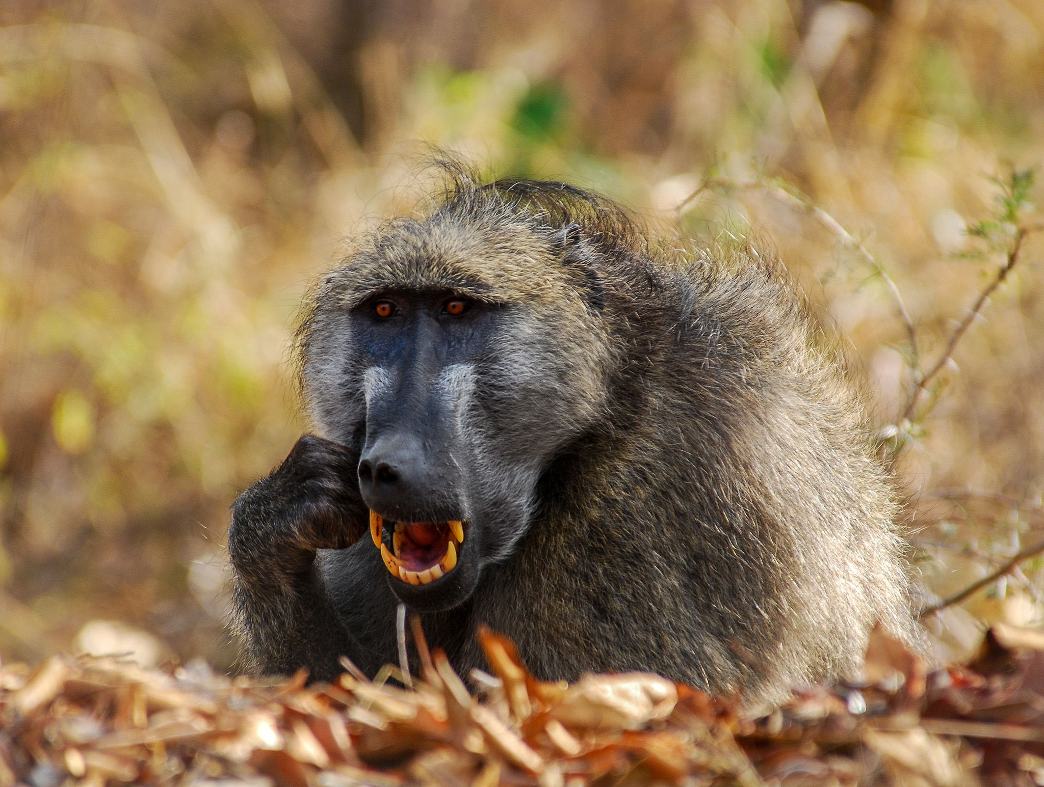 Baboon cleaning his teeth.  This image is from Africa's Deadliest. [Photo of the day - February 2020]