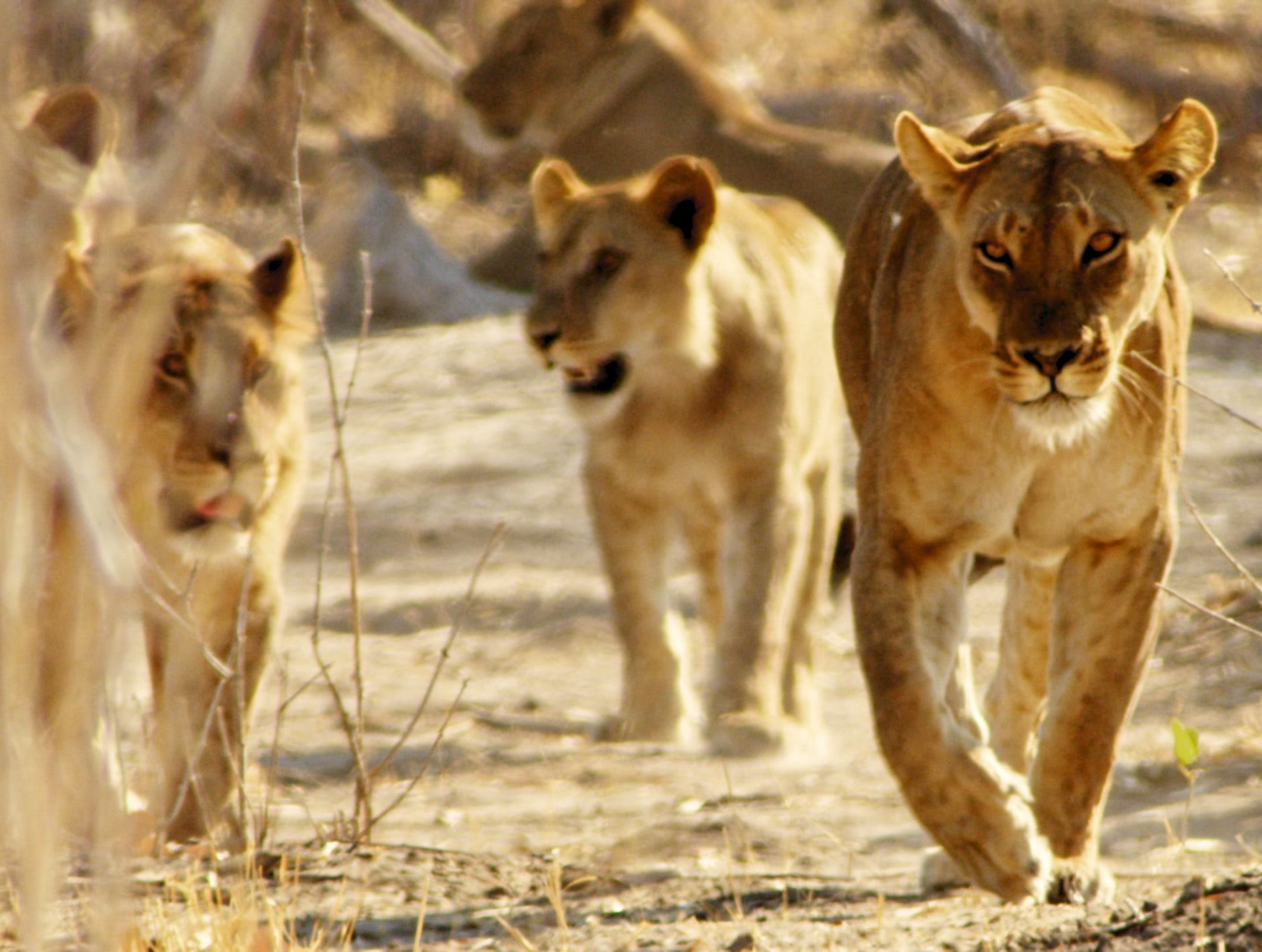 Botswana:  Lionesses walking towards camera. This image is from Africa's Deadliest. [Photo of the day - February 2020]