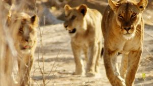 Botswana:  Lionesses walking towards... [Photo of the day - 19 FEBRUARY 2020]