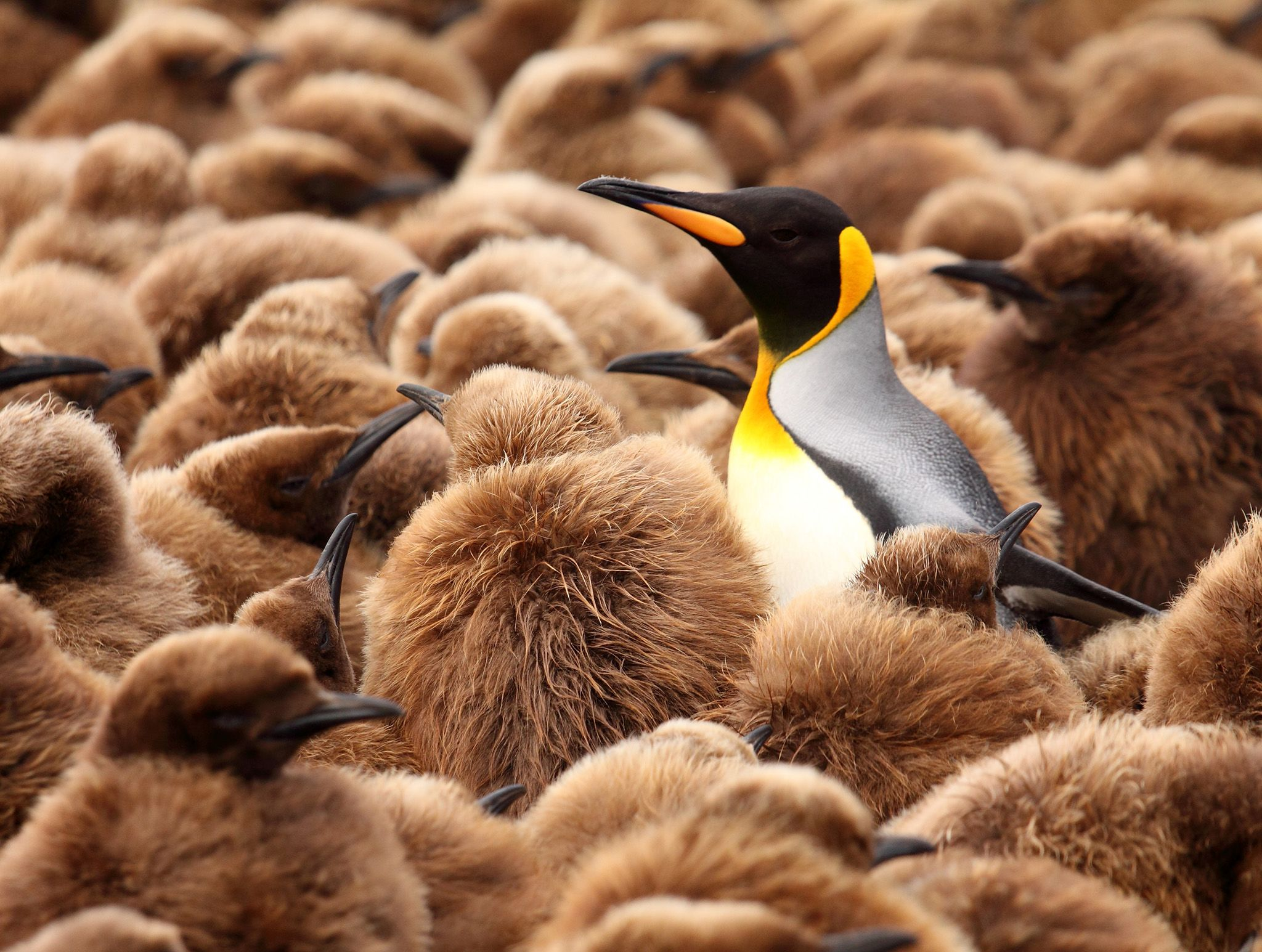 Marion Island, Sub Antarctica:  Lone adult King Penguin amongst hundreds of big brown juvenile... [Photo of the day - February 2020]