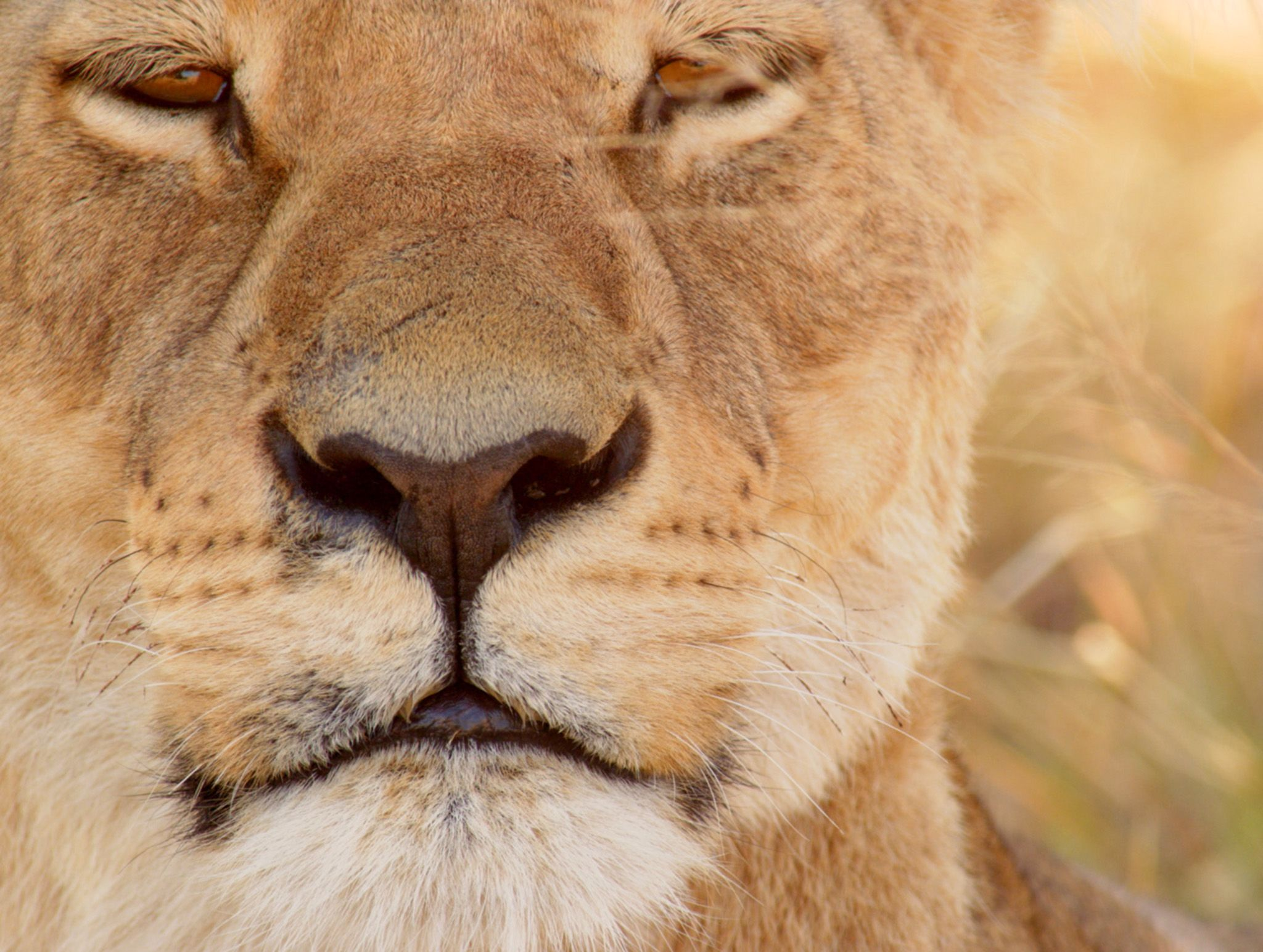 Botswana:  Lioness. This image is from Africa's Deadliest. [Photo of the day - February 2020]