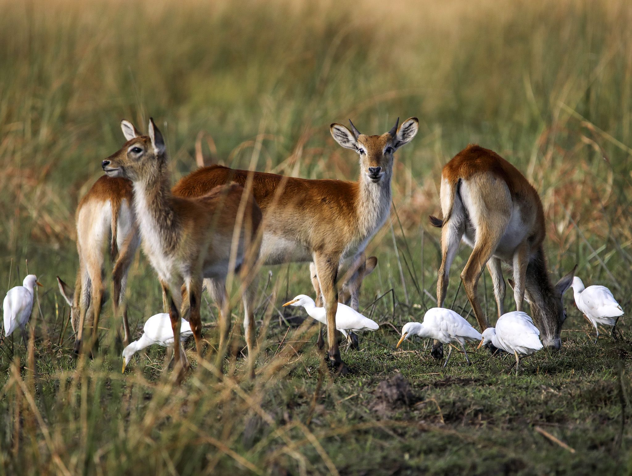 Chobe National Park, Botswana:  A small group of cattle egrets feed on insects and the like at... [Photo of the day - February 2020]