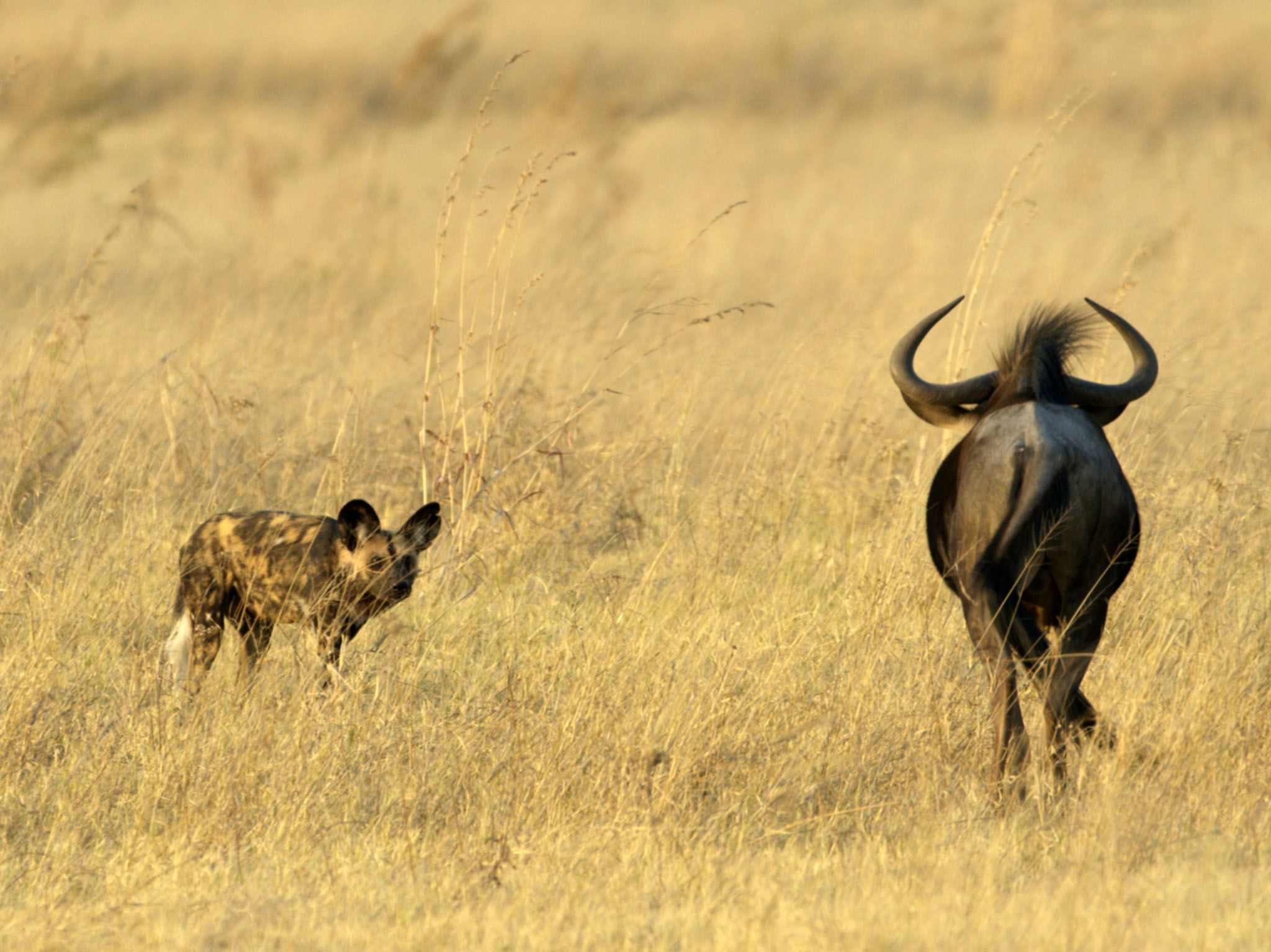 Moremi Game Reserve, Botswana:  A large, stalking water buffalo can outweigh a wild dog by over... [Photo of the day - March 2020]