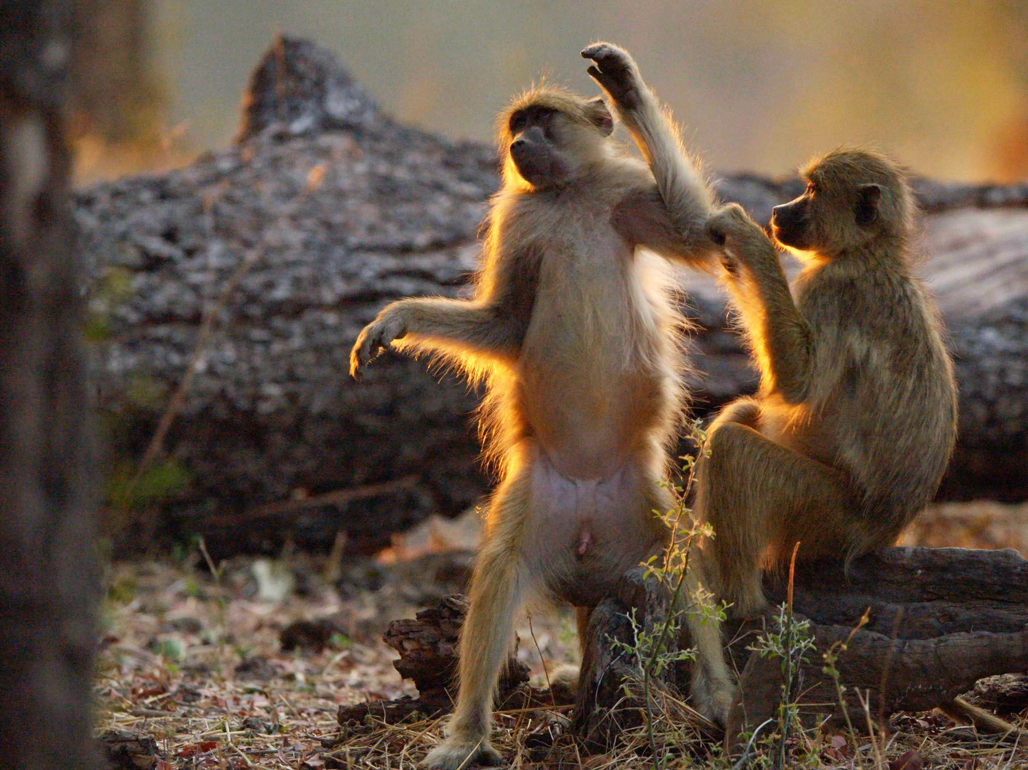 Baboons grooming one another. This image is from Africa's Hunters. [Photo of the day - مارس 2020]
