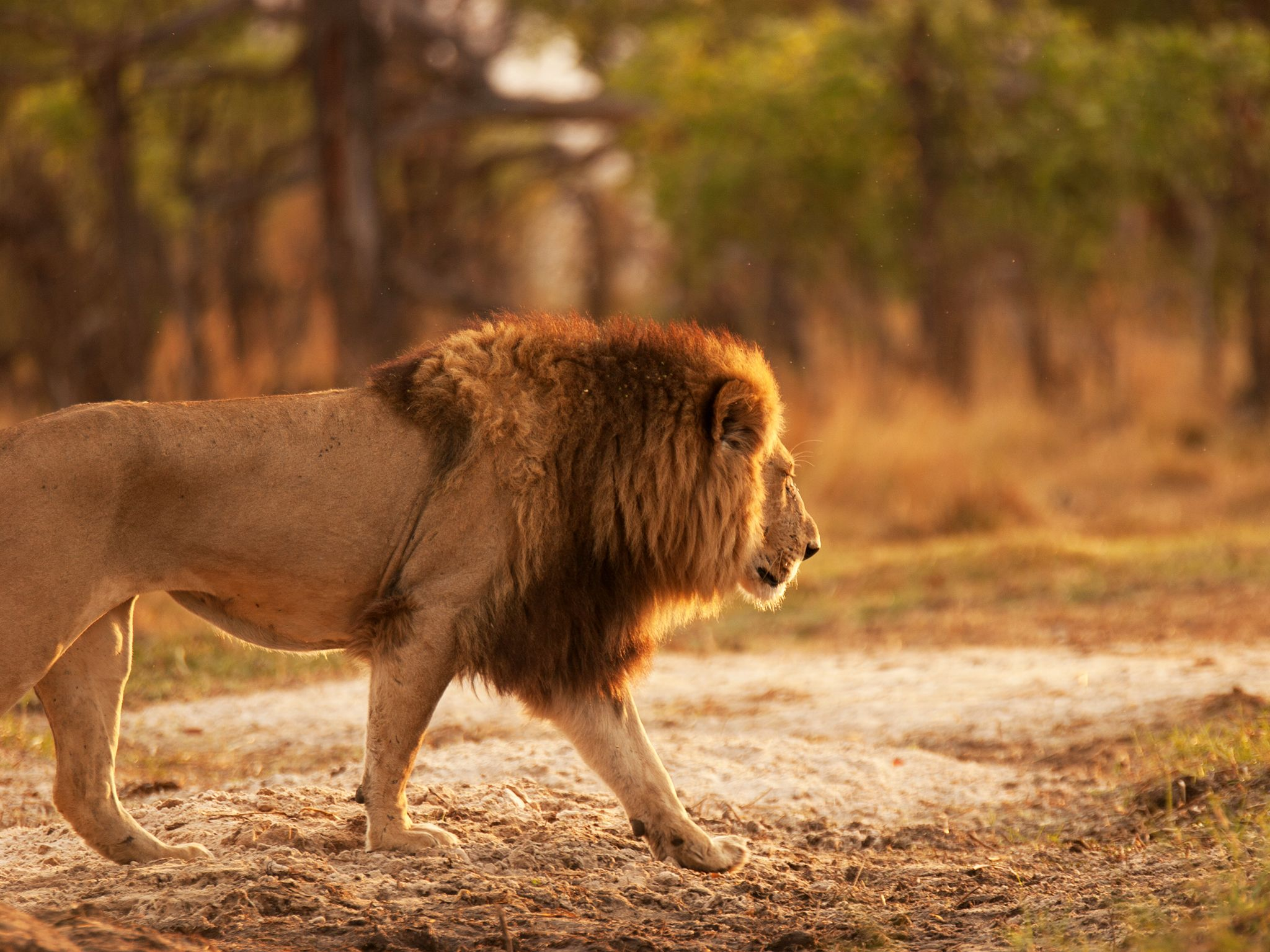 Rwanda: Male lion crossing riverbed. This image is from Return of the Lion. [Photo of the day - March 2020]