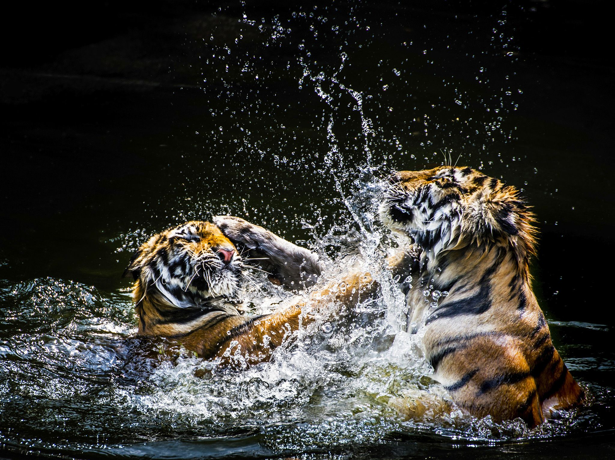 Tigers wrestle in the water.  Tigers usually live 8 to 10 years in the wild. This image is from... [Photo of the day - مارس 2020]