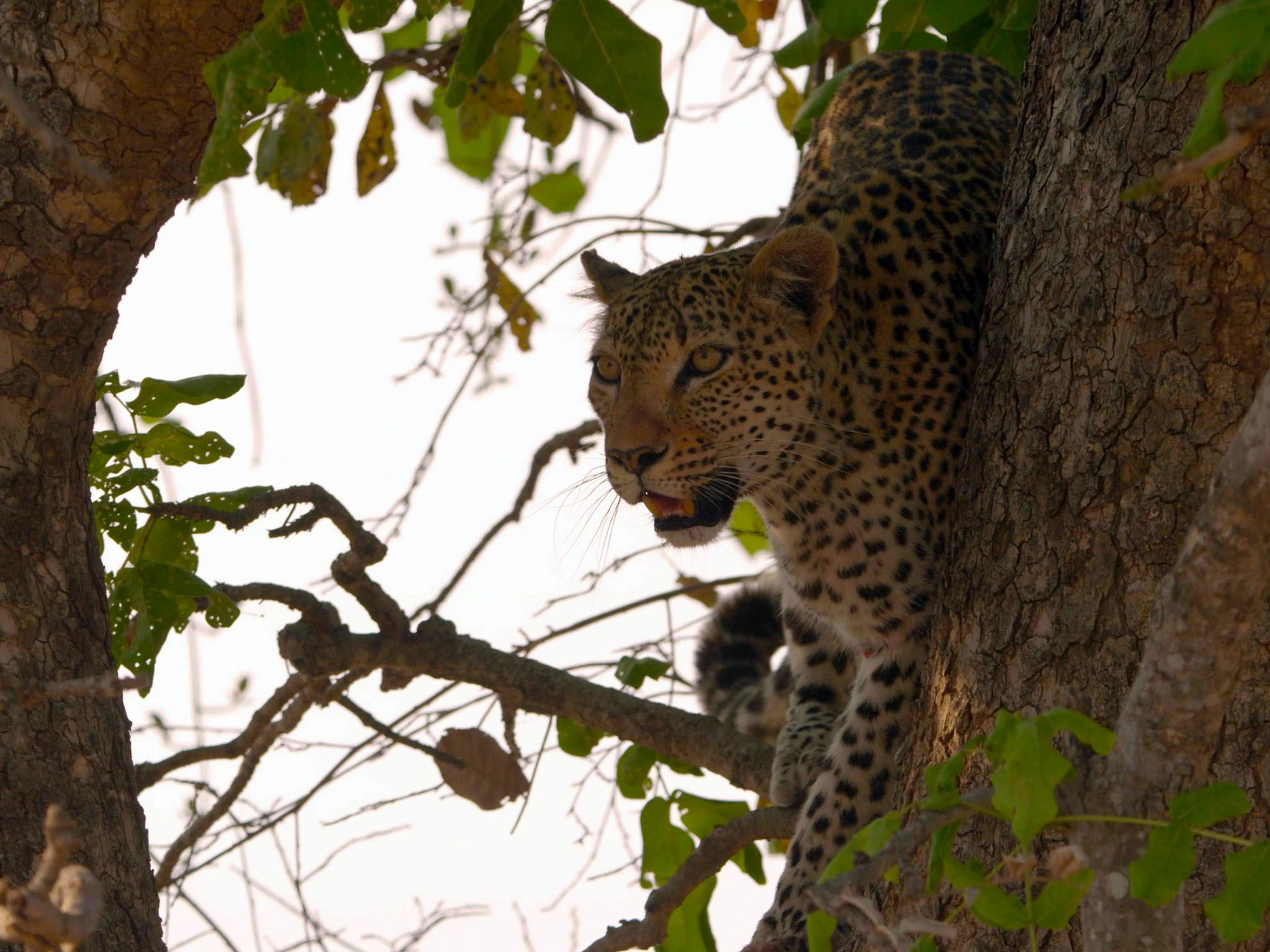 Male Leopard up on a branch. This image is from Africa's Hunters. [Photo of the day - مارس 2020]
