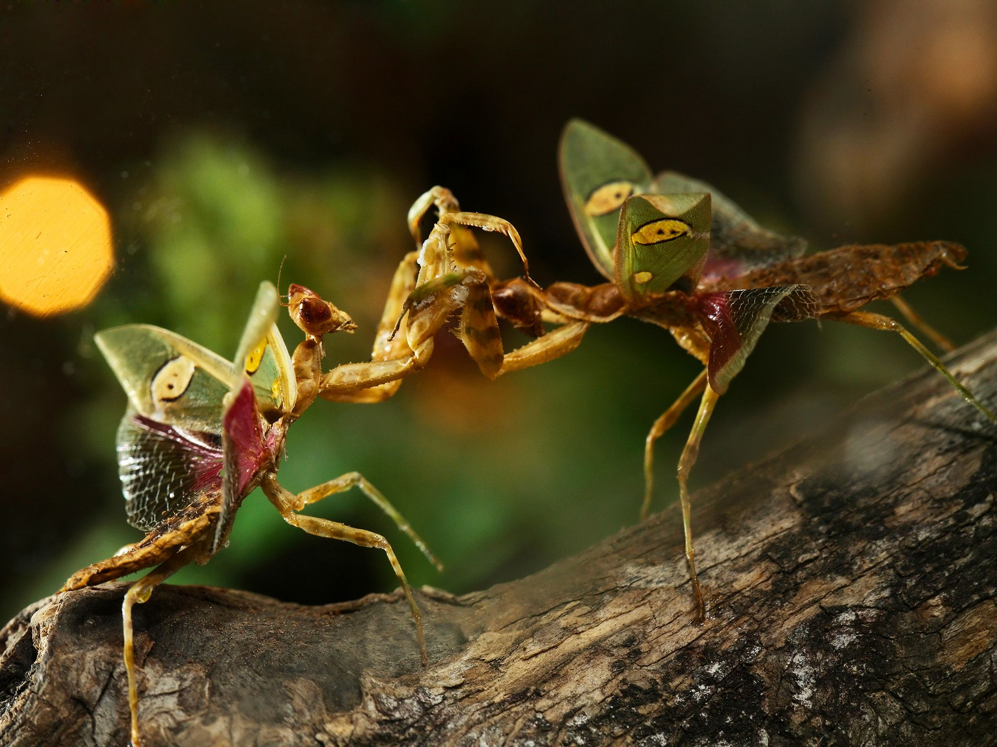 Mantis are well known to eat each other… so loser beware!  This image is from Animal Fight... [Photo of the day - مارس 2020]