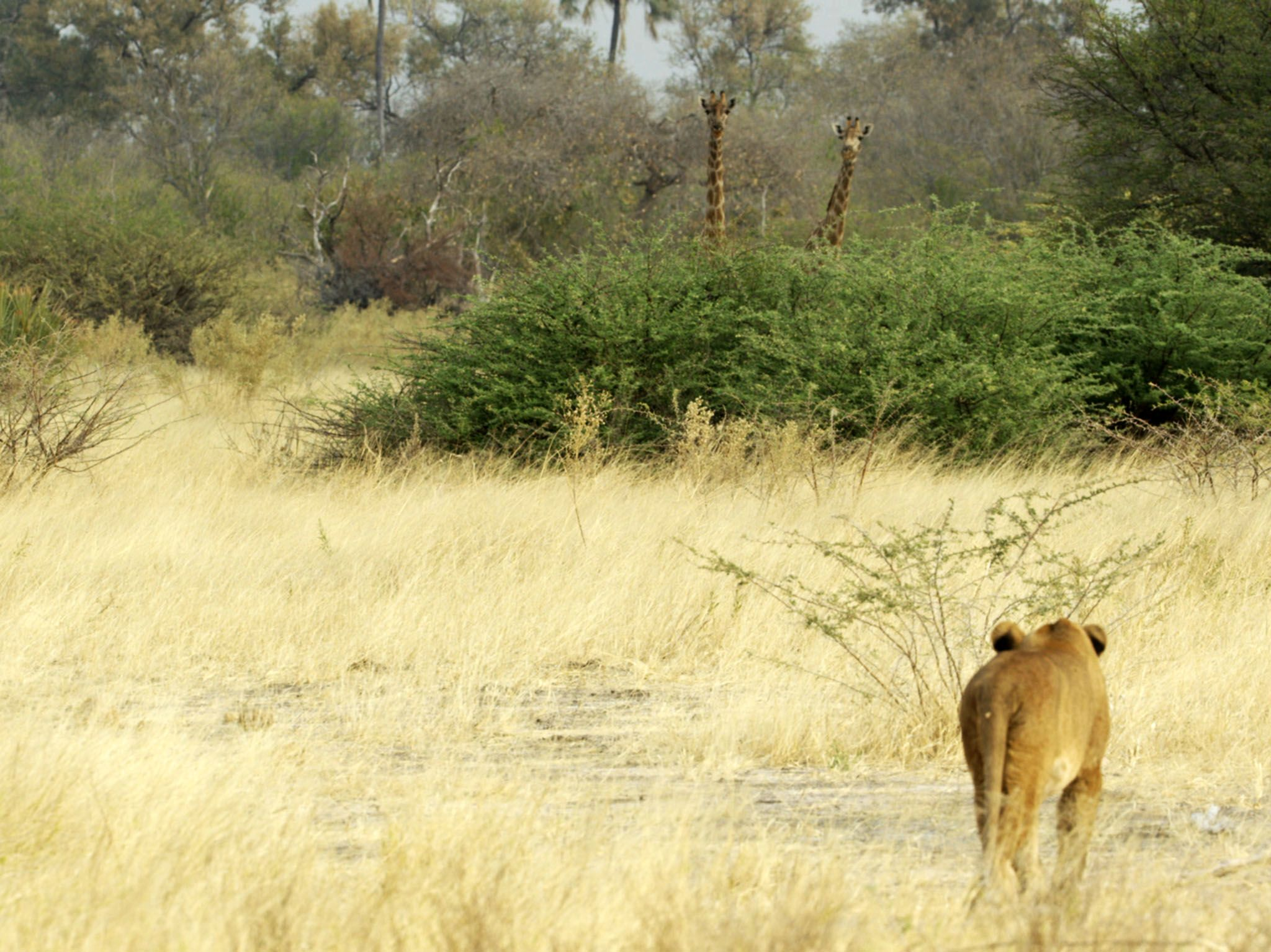 Moremi Game Reserve, Botswana:  Two giraffe onlookers spy on an encroaching lioness.  This image... [Photo of the day - March 2020]
