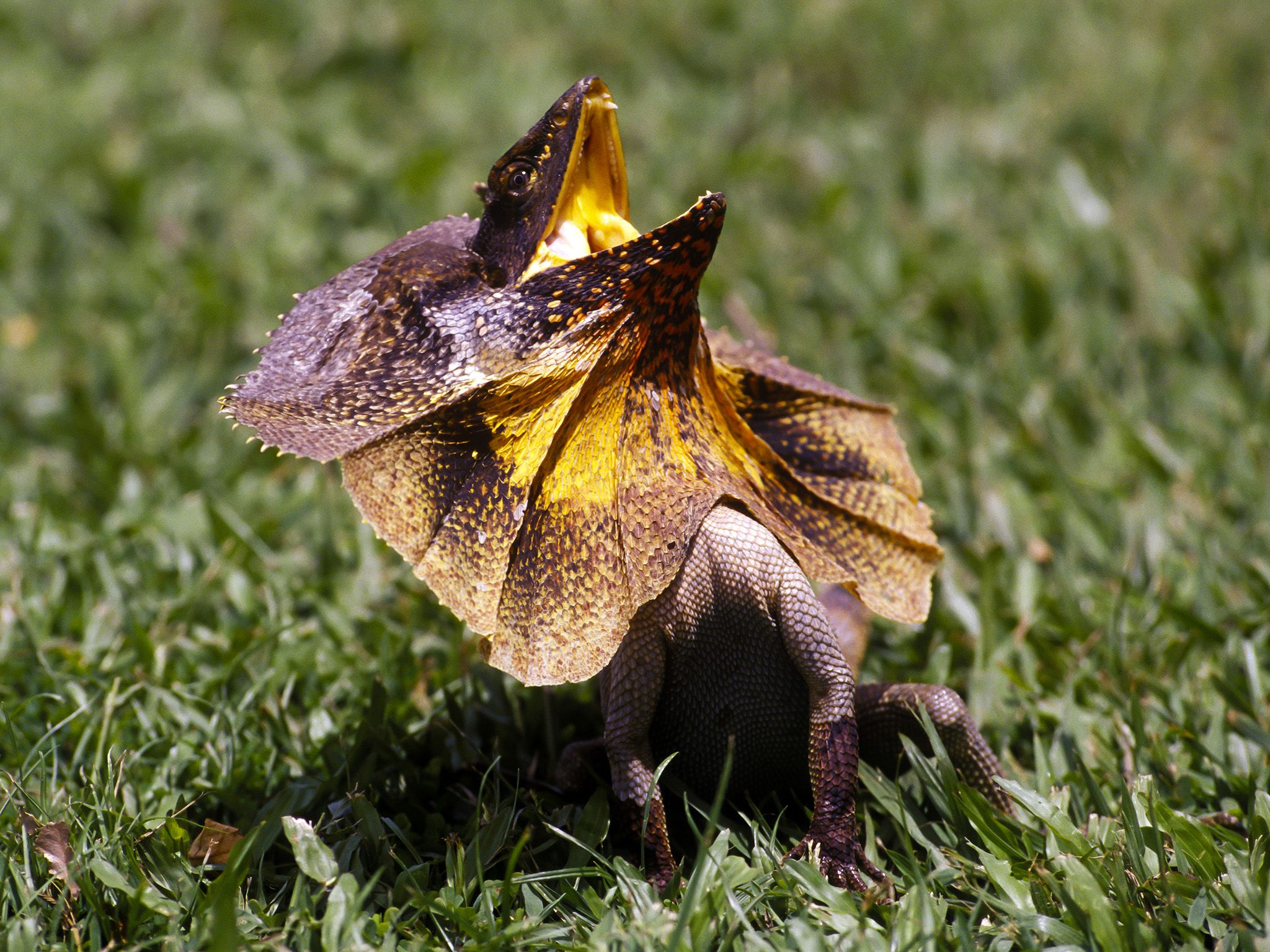 An aggressive frilled neck lizard leaps forward-his hind legs are longer than his front, and... [Photo of the day - March 2020]
