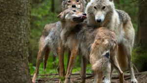 Finland:  Two yearling gray wolves... [Photo of the day - 27 MARCH 2020]