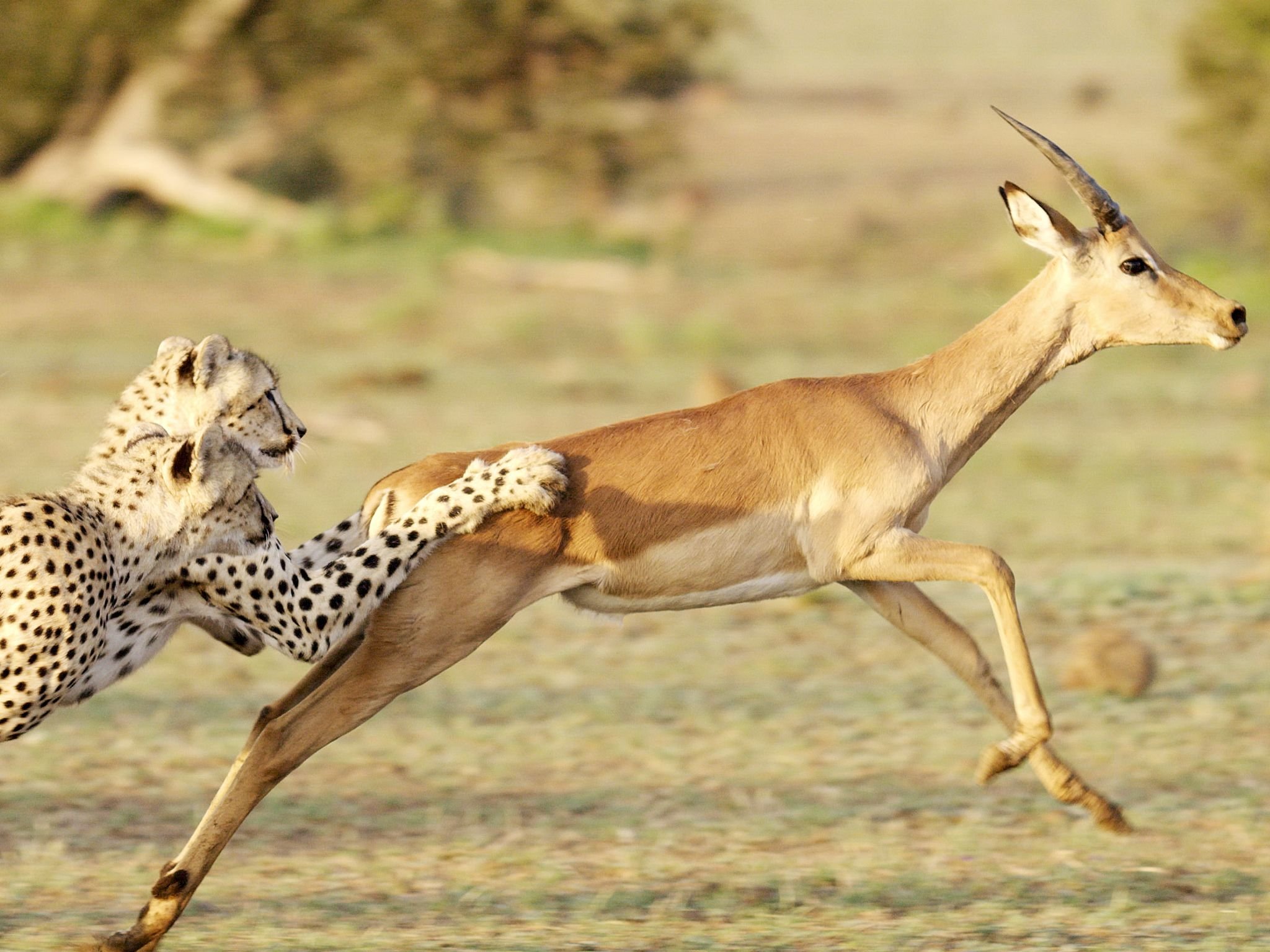 Botswana:  Two cheetah bring down an young impala ram. This image is from Storm Cats. [Photo of the day - March 2020]