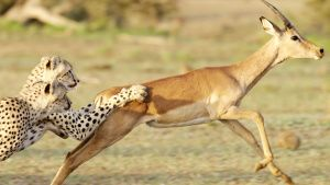 Botswana:  Two cheetah bring down an... [Photo of the day - 28 مارس 2020]