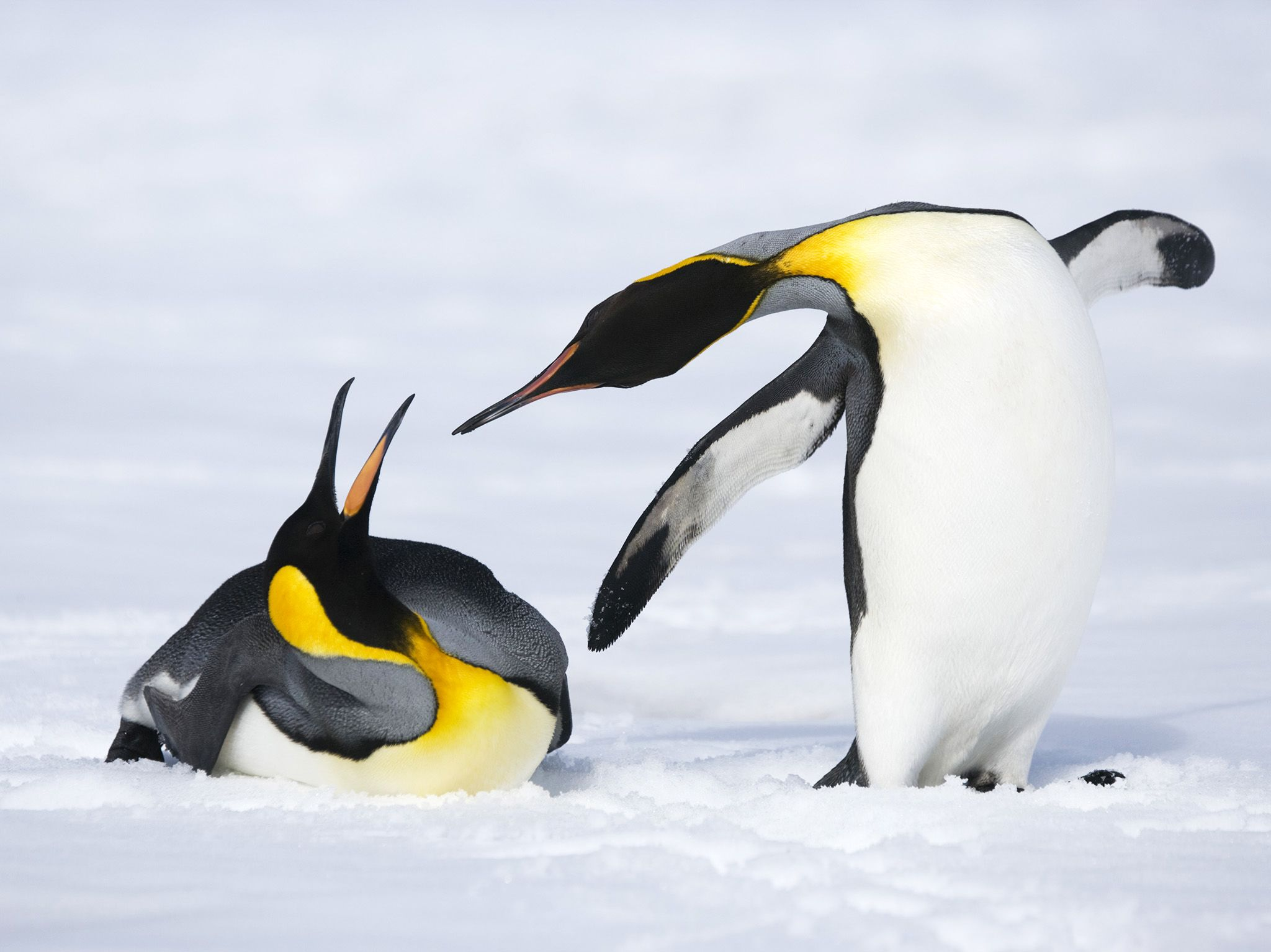 South Georgia Island, South Georgia and the South Sandwich Islands, Antarctica:  King Penguins... [Photo of the day - March 2020]