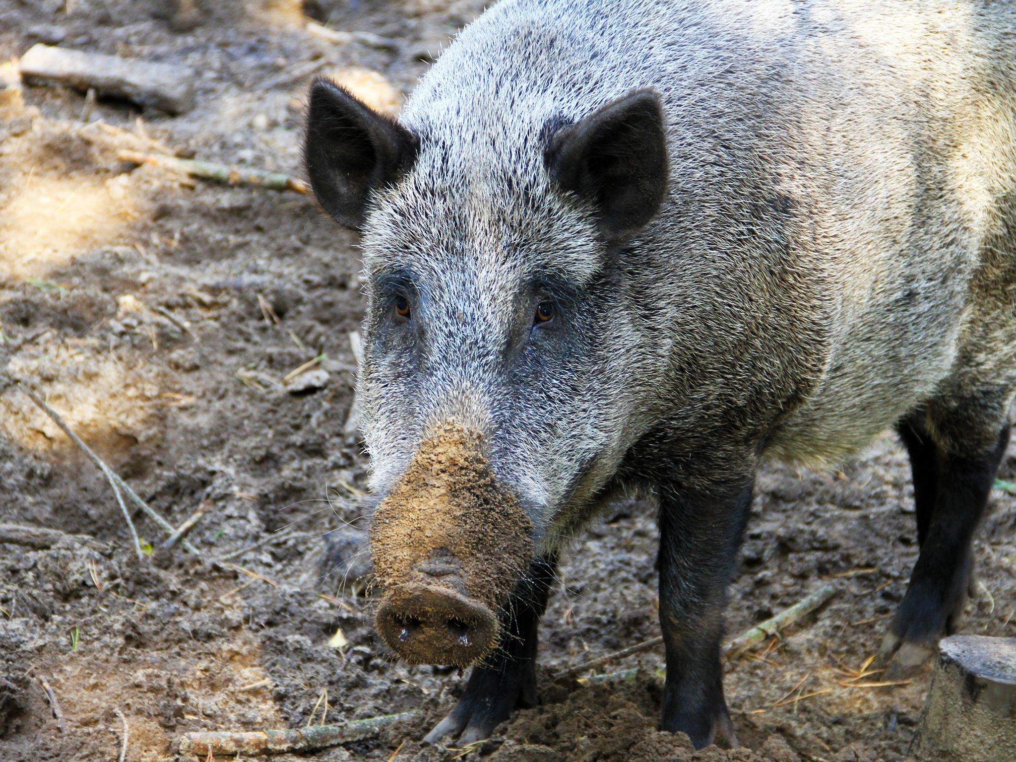 Large wild boar in Berlin, Germany.  This image is from Invaders. [Photo of the day - March 2020]