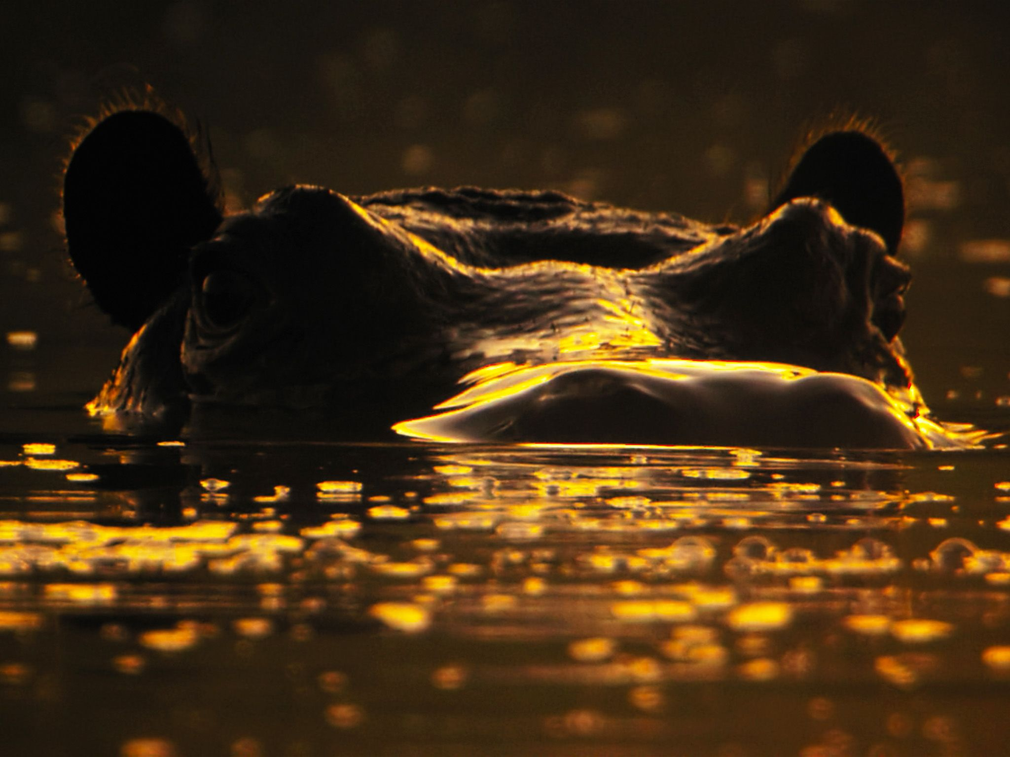 Botswana:  Hippo's head poking out of water. This image is from Africa's Wild Side. [Photo of the day - April 2020]
