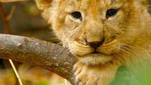 Botswana:  Lion cub resting head on... [Photo of the day -  8 APRIL 2020]