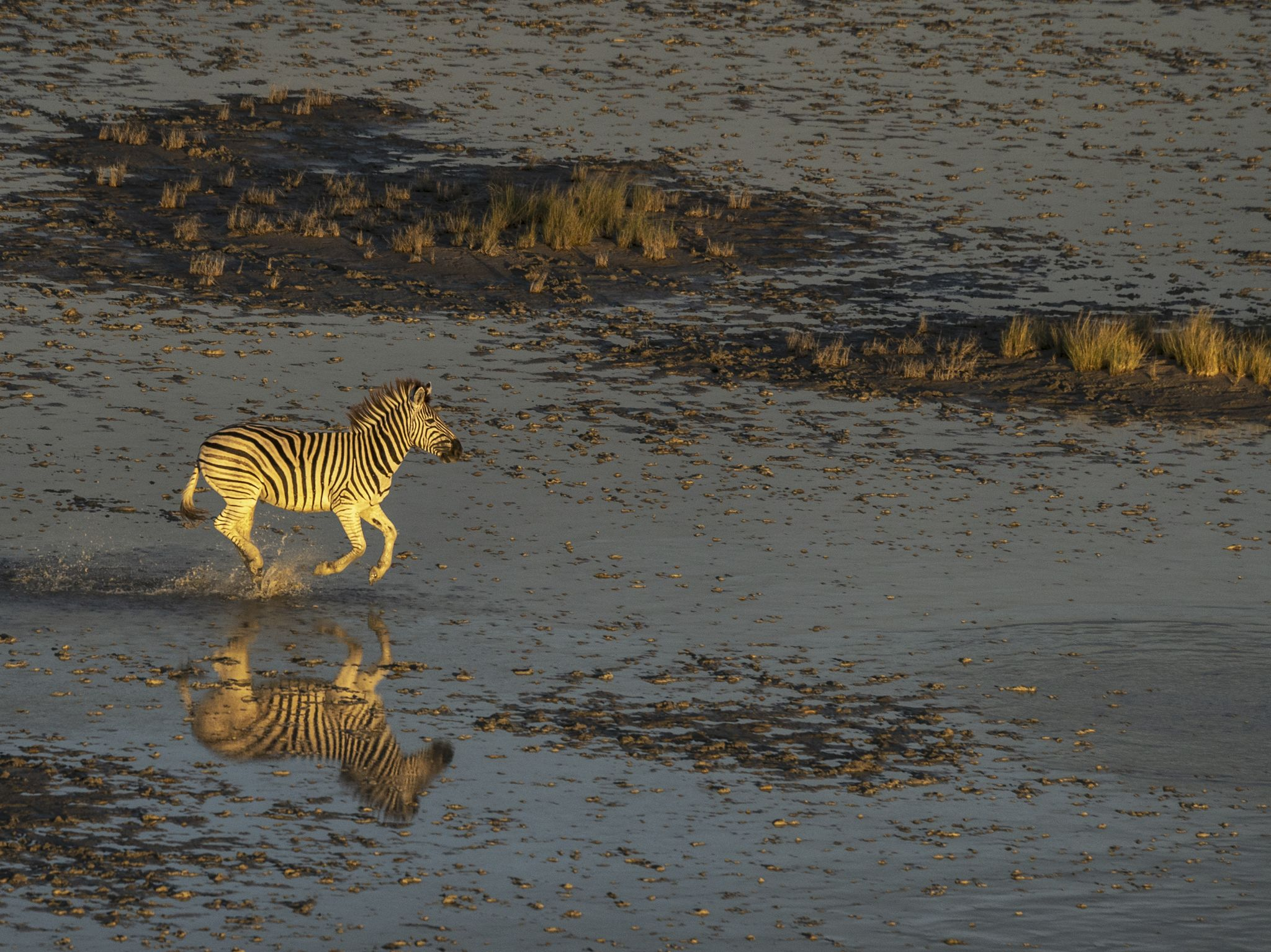 A Zebra running across the wet Makgadikgadi Salt Pan. This image is from Okavango River of Dreams. [Photo of the day - April 2020]
