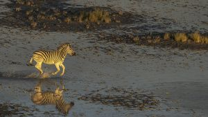 A Zebra running across the wet... [Photo of the day - 10 APRIL 2020]