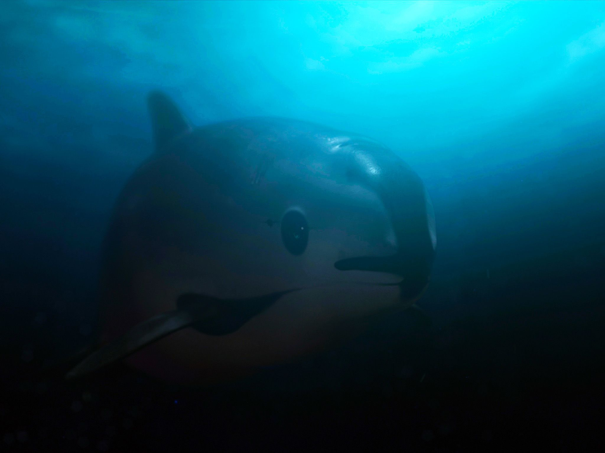 Vaquita underwater swimming. This image is from Sea of Shadows. [Photo of the day - April 2020]