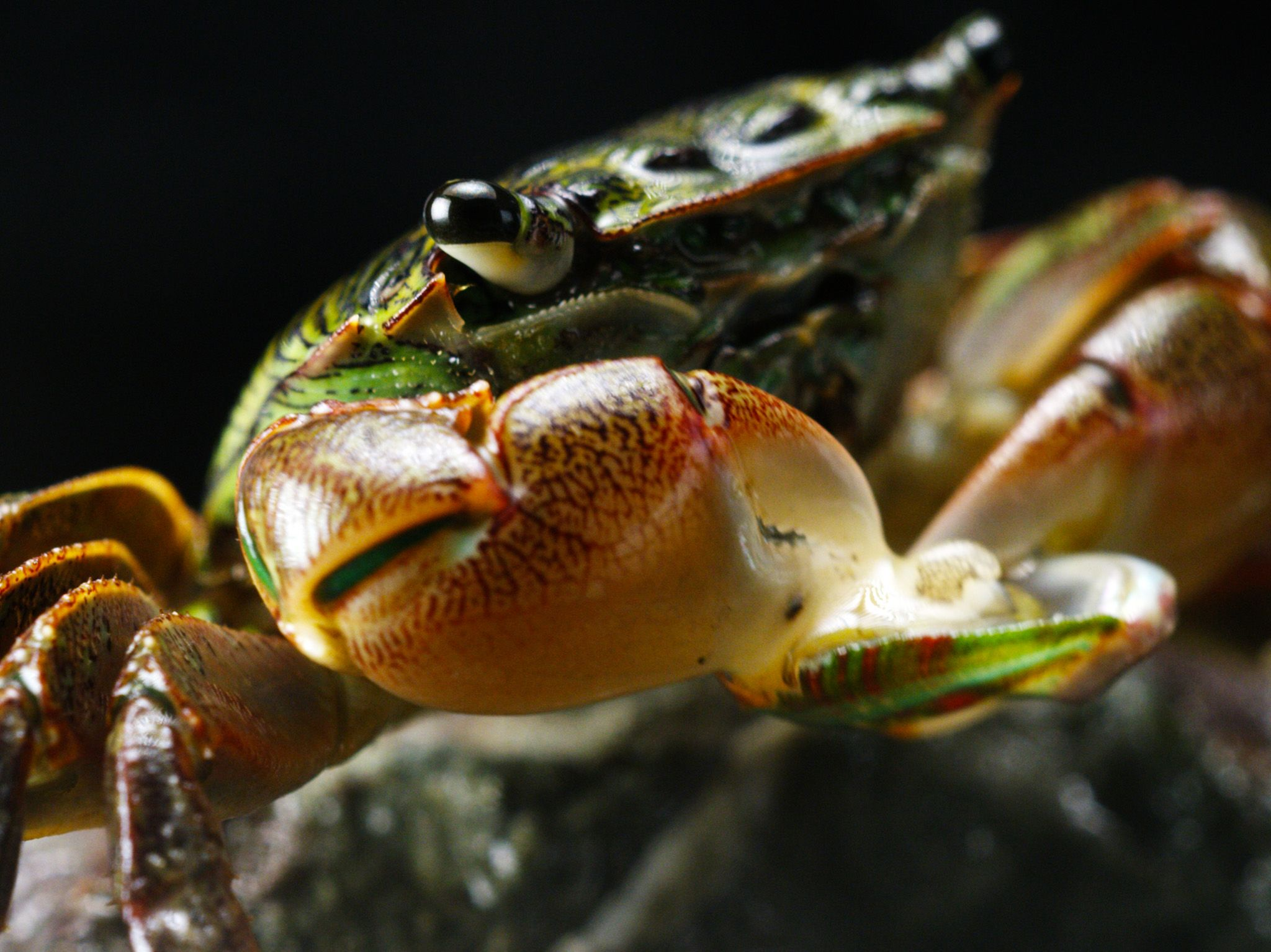 Elkhorn Slough, CA:  Lined Shore Crab devouring Abalone.  This image is from America's Wild... [Photo of the day - April 2020]