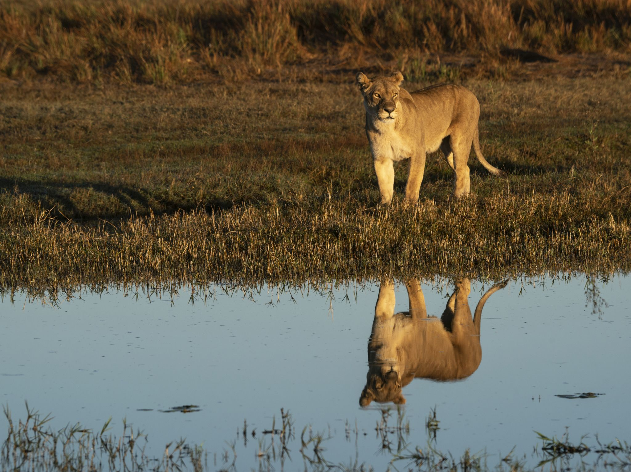 A lioness makes sure it is safe before crossing a spillway. This image is from Okavango River of... [Photo of the day - April 2020]