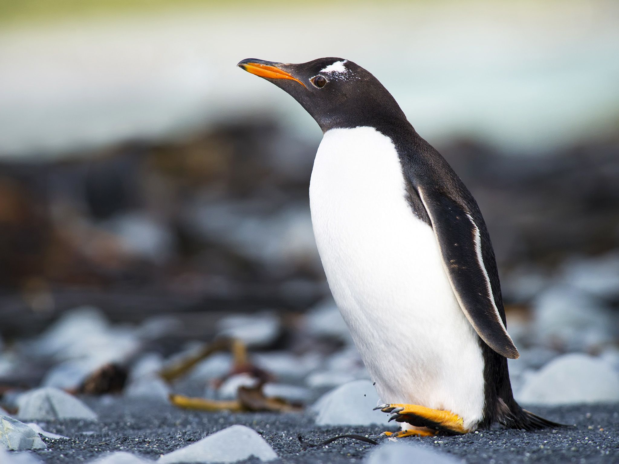 Macquarie Island, Australia:  Gentoo Penguin (Pygoscelis papua) walking on a rocky beach. This... [Photo of the day - April 2020]