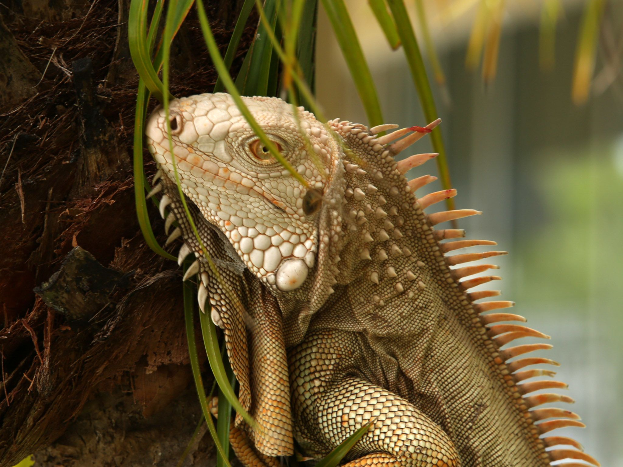 Deerfield Beach, FL:  Close up of Biggie the iguana exploring on a tree outside of the clinic.... [Photo of the day - April 2020]