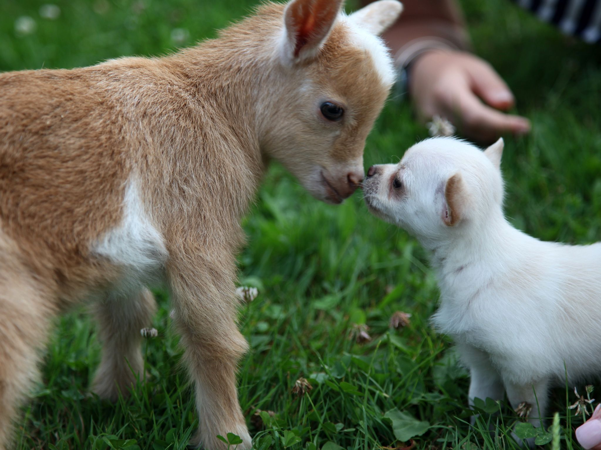 Cumberland, Maine:  Tiny Chihuahua Lola sniffs at one of her best friends, a Nigerian Dwarf goat... [Photo of the day - May 2020]