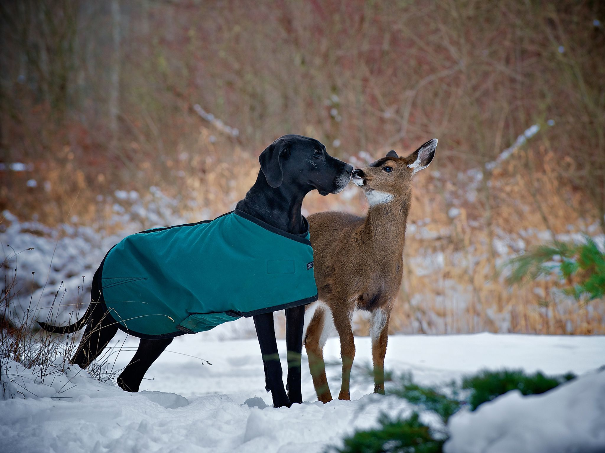 Courtenay, BC, Canada:  Kate the dog and Pippin the deer kiss.  This image is from Unlikely... [Photo of the day - May 2020]
