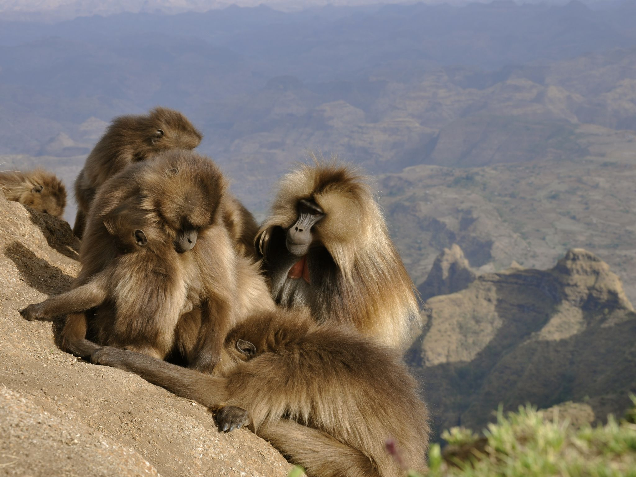 A group of gelada baboons gathered on a mountain. This image is from Africa's Hidden Wonders. [Photo of the day - June 2020]