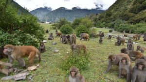 Tibet:  Troup of Tibetan macaques. ... [Photo of the day -  3 JUNE 2020]