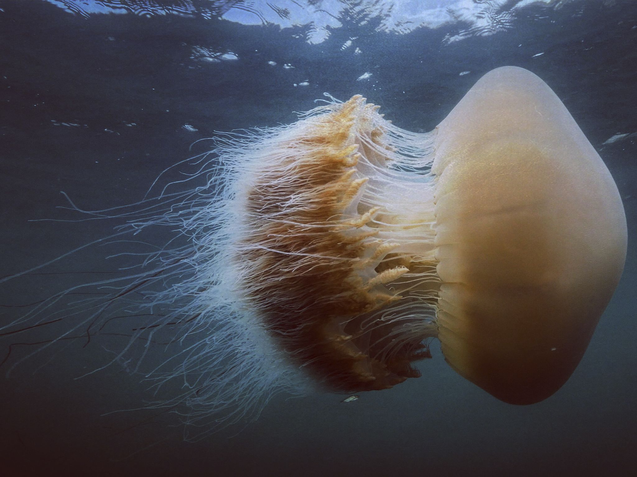 A jellyfish is a free swimming form of  polyp called a medusa. Nomura's jellyfish is the... [Photo of the day - June 2020]