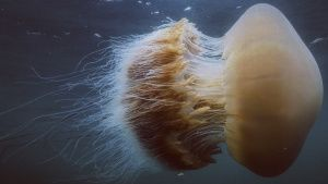 A jellyfish is a free swimming form... [Photo of the day -  4 JUNE 2020]