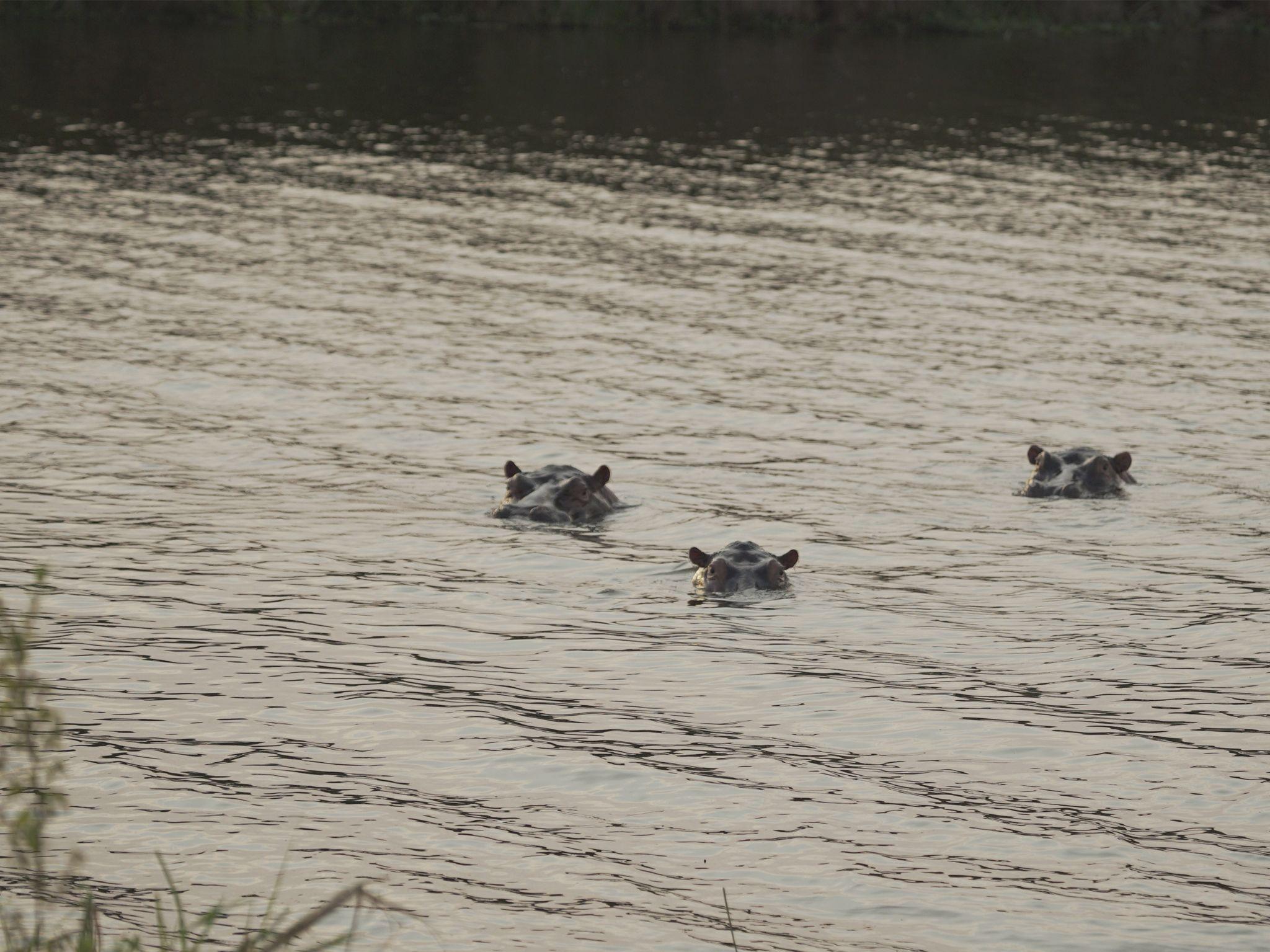 ثلاث حيوانات فرس نهر مغمورون تحت مياه البحيرة. في... [Photo of the day - يونيو 2020]