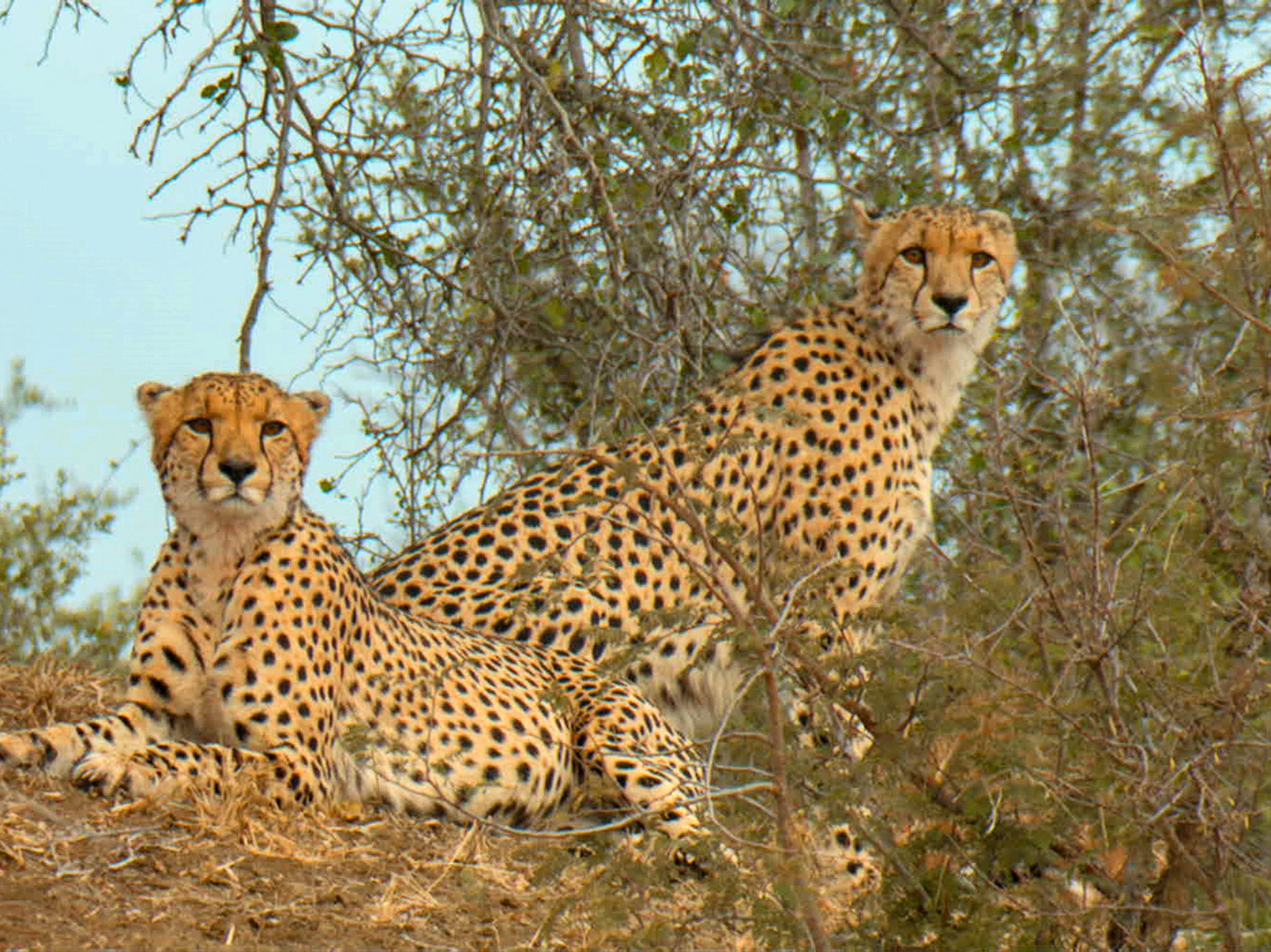 Cheetah brothers resting on top of hill, next to thicket. This image is from Predator Land. [Photo of the day - June 2020]